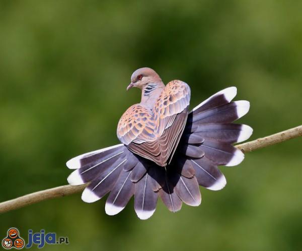 Sercowy gołąb