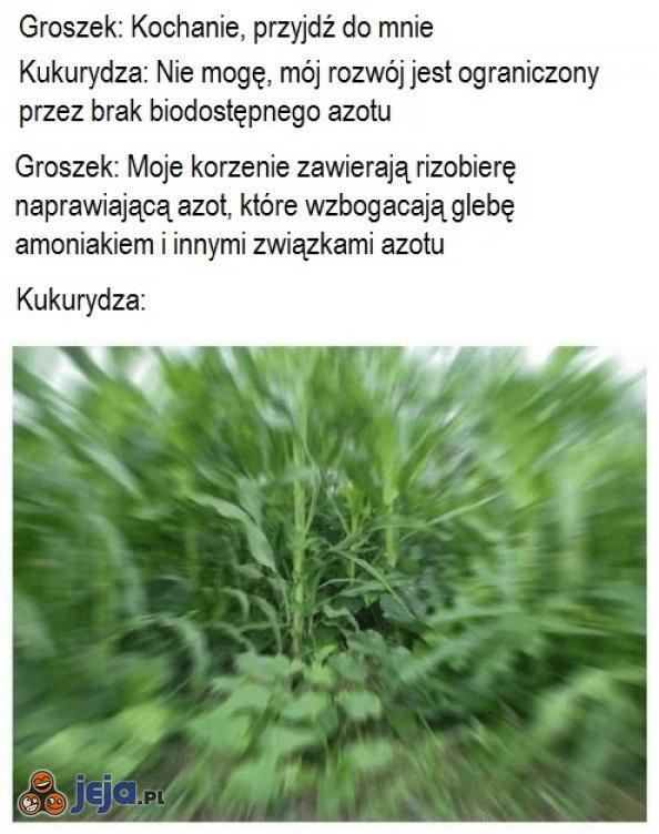 Groszek i kukurydza