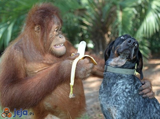 Zjedz bananka