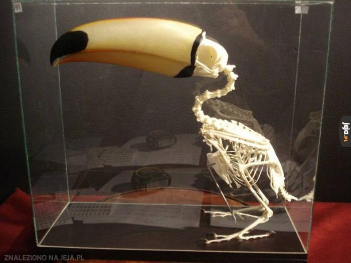 Szkielet tukana