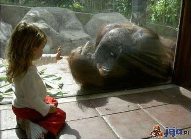 Orangutan pozdrawia dzieci w ZOO