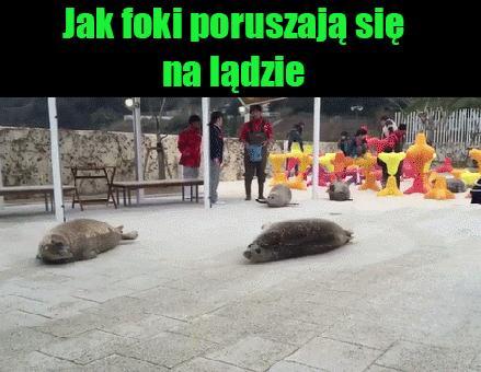 Foki na lądzie