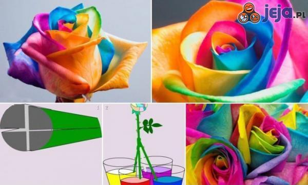Wielokolorowa róża