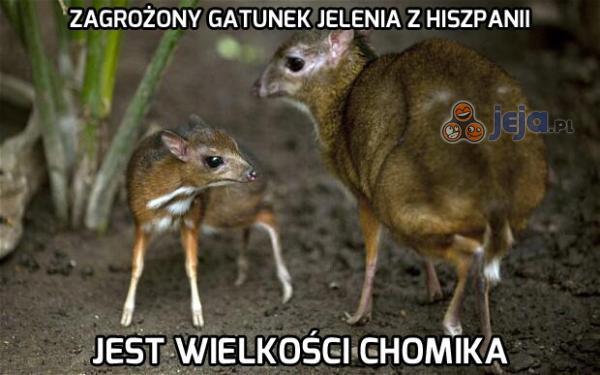 Zagrożony gatunek jelenia z Hiszpanii