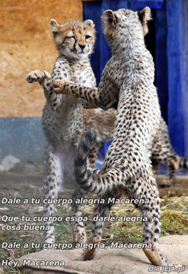 Lamparty tańczą Makarenę