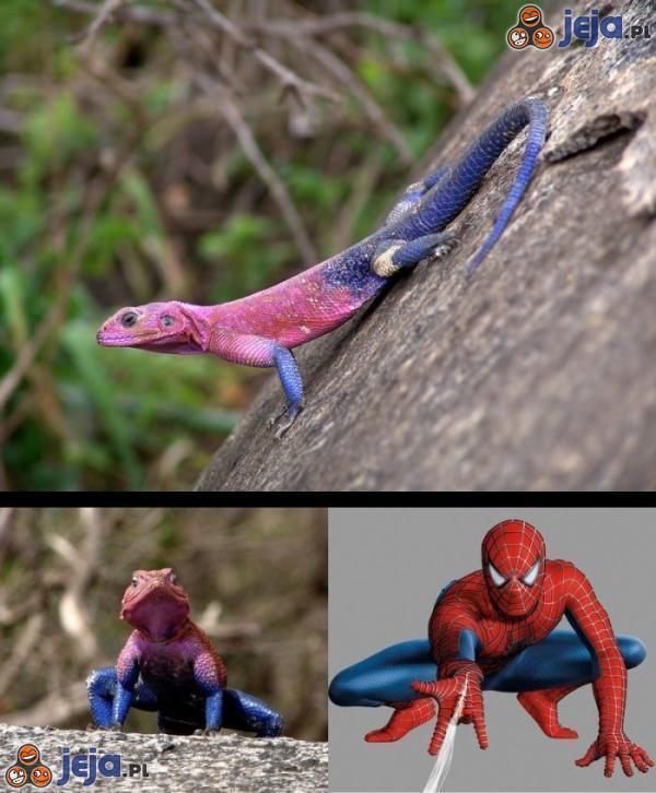 Jaszczurka w stroju... Spider-mana