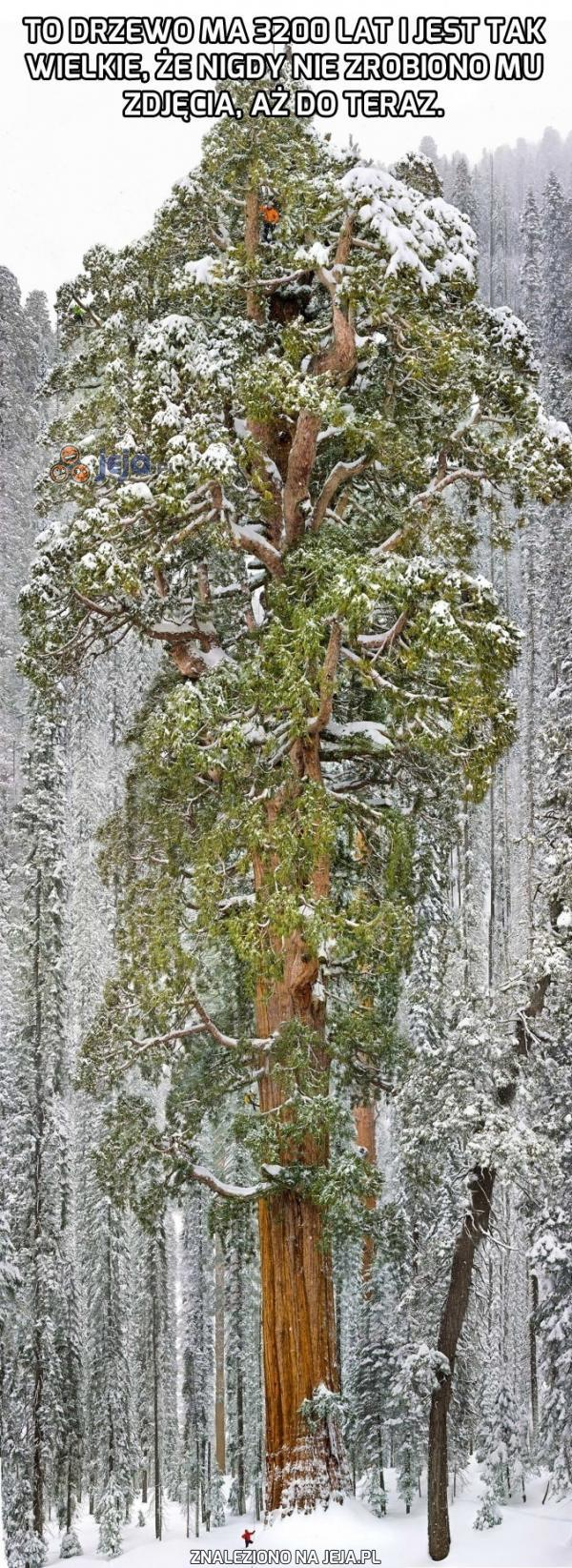 Bardzo stare drzewo