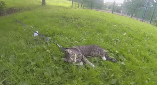 Kot uwielbia spacery na swojej smyczy