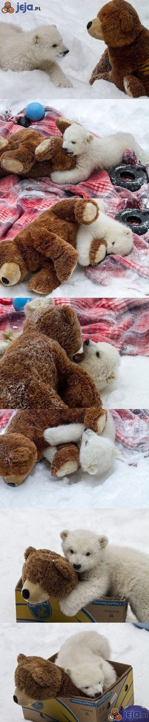 Miś polarny i miś... brunatny