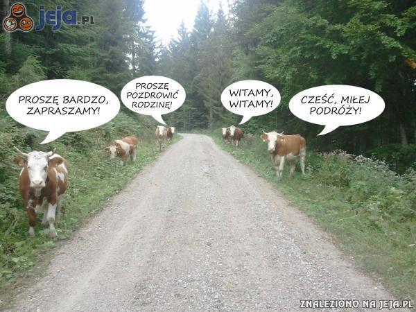 Uprzejme krowy na drodze