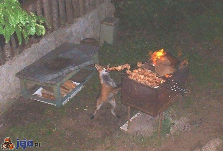Zgłodniały lis