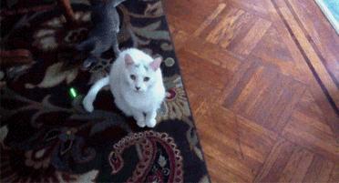 Kot, którego nie rusza laser