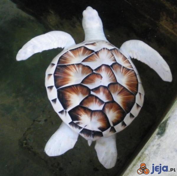 Żółw albinos
