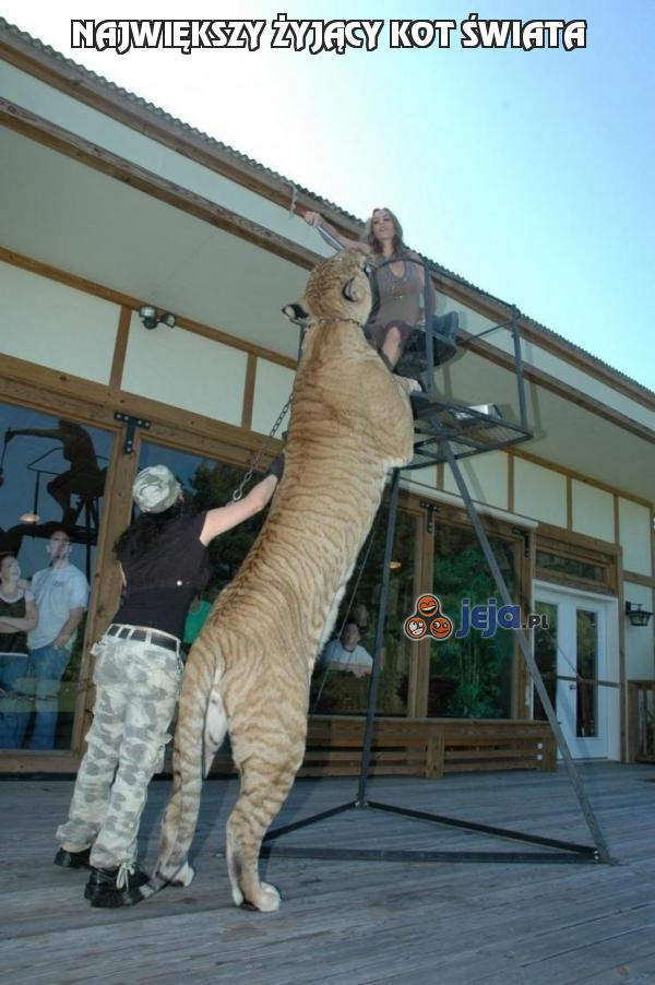 Największy żyjący kot świata