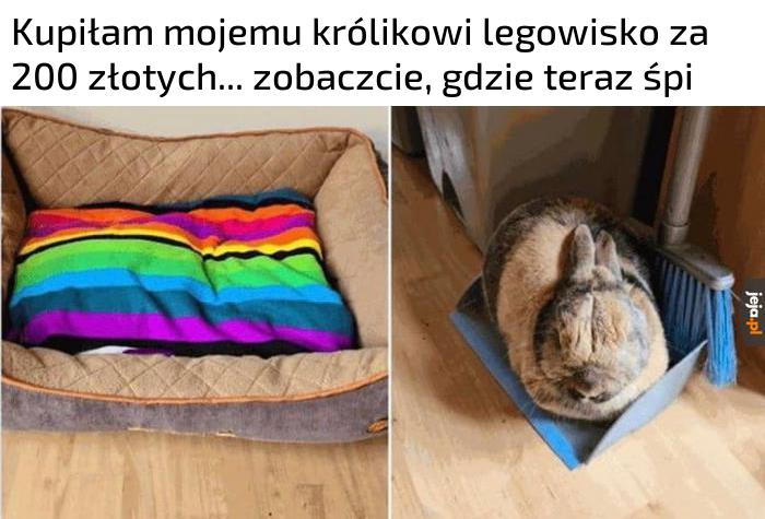 Króliki mają coś wspólnego z kotami