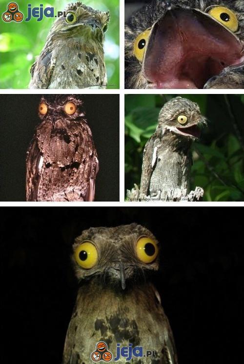 Nocolot - ptak o przerażających oczach