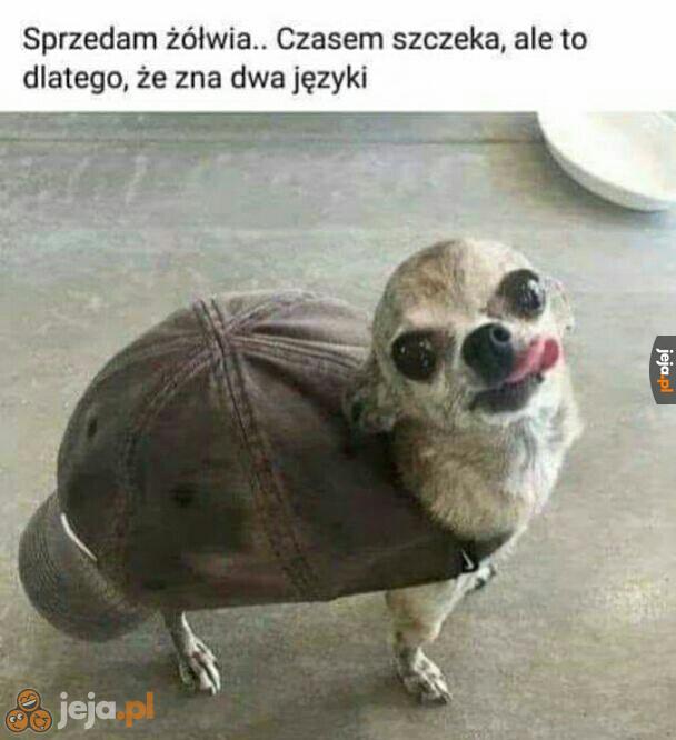 Ktoś chętny na żółwia poliglotę?