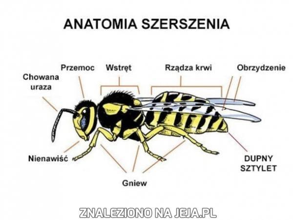Anatomia szerszenia