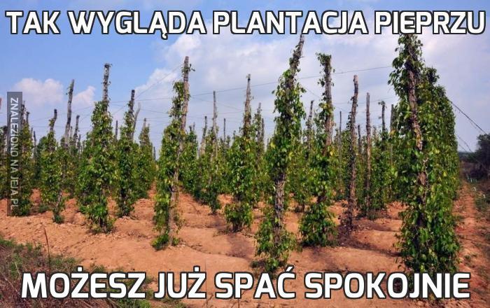 Tak wygląda plantacja pieprzu