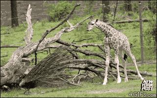 Żyrafy to tchórze!