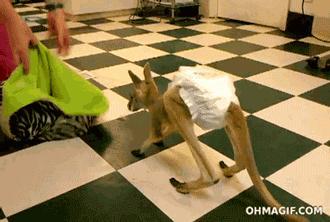Kangurek wskakuje do torby