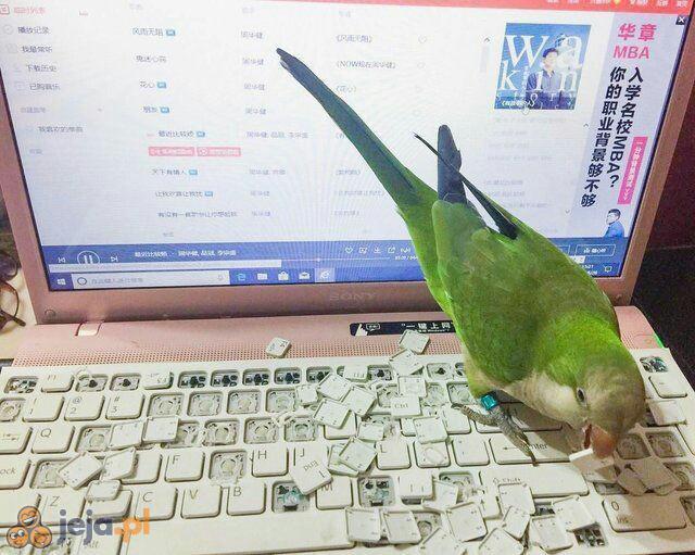 Śmieszek z tej papugi
