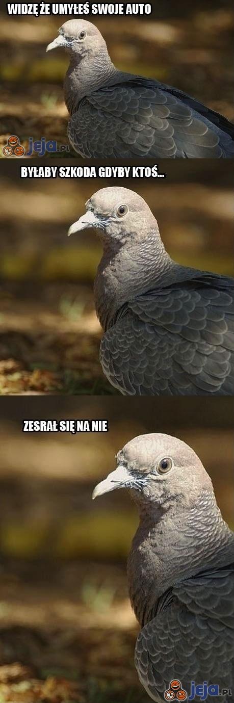 Złośliwy gołąb