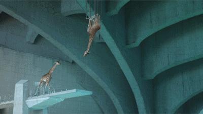 Żyrafie akrobacje