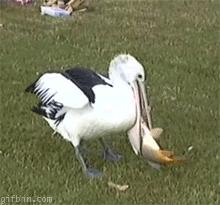 Pelikan sobie nie pojadł