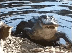 Kot kontra krokodyl