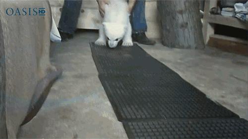 Miś polarny uczy się chodzić