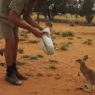 Kangur kieszonkowy