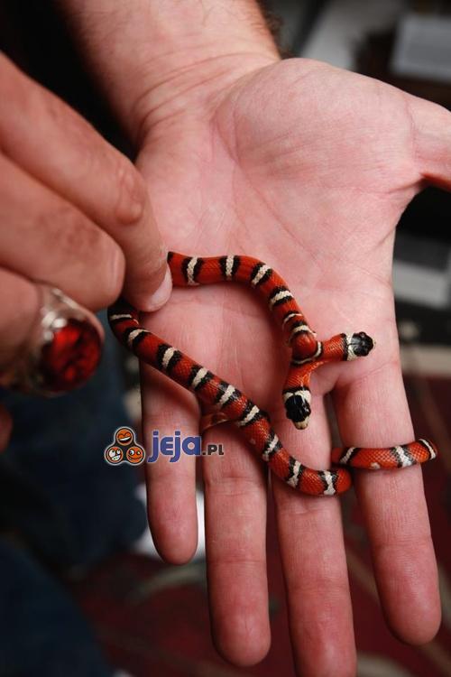 Dwugłowy wąż