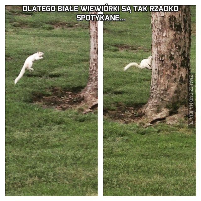 Dlatego białe wiewiórki są tak rzadko spotykane...