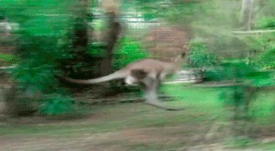 Dostojny kangur pędzący przed siebie i... Auć!