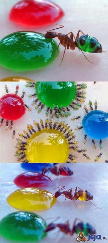 Mrówczany eksperyment z kolorowym cukrem