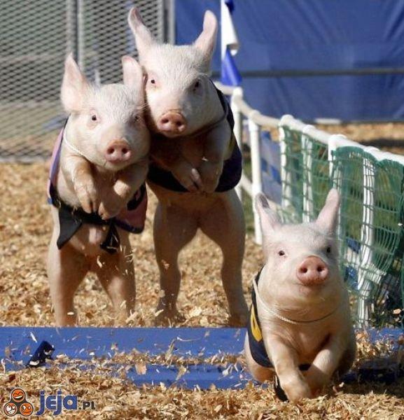 Świnki na wyścigach