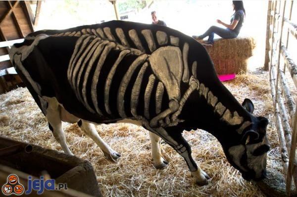 Malunek na krowie