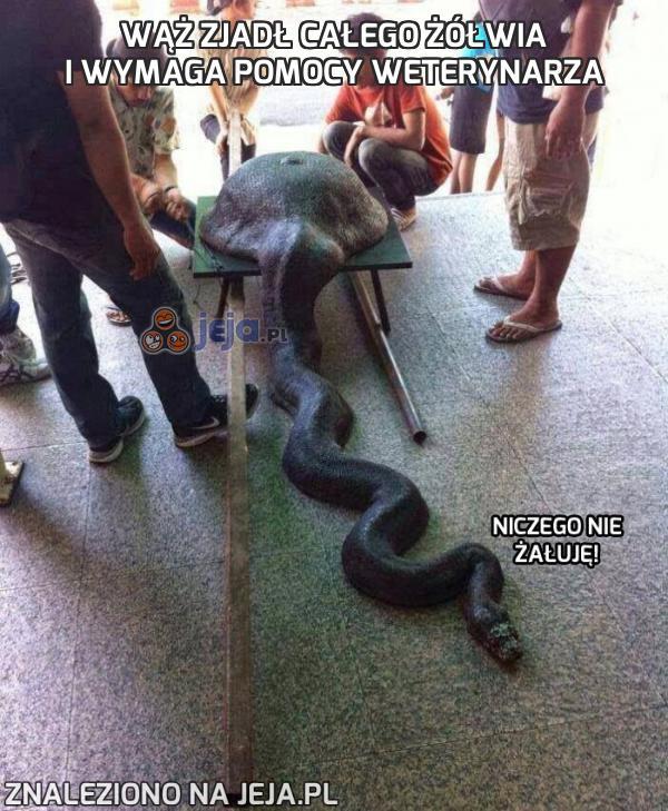 Wąż zjadł całego żółwia i wymaga pomocy weterynarza