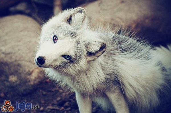Hipnotyzujący wilk