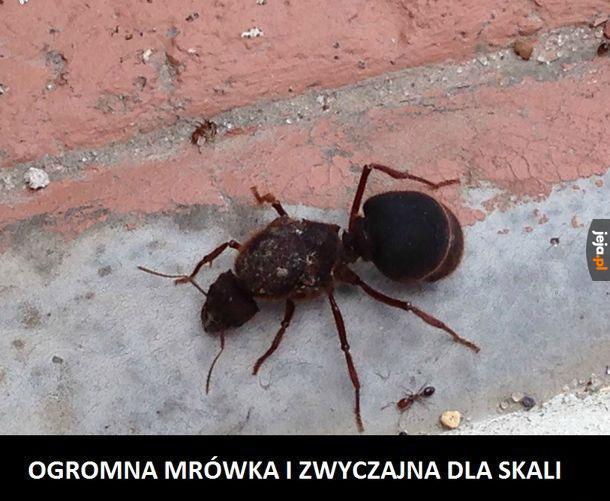 Mrówka prosto z Czarnobyla