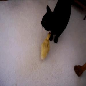 Kot wychowujący kaczkę