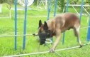 Szkolenie psa policyjnego