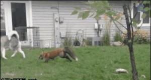Husky i lisek świetnie się bawią