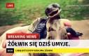 Chwała Ci, dzielny żółwiku
