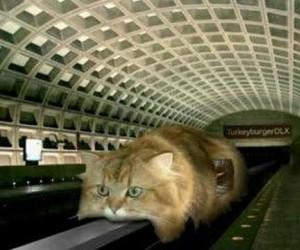 Kot jednoszynowy
