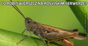 Co robi świerszcz na rosyjskim serwerze?