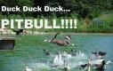 Kaczka, kaczka, kaczka... Pitbull!!