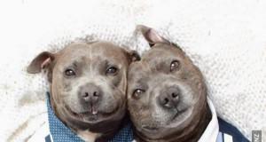 Dwaj słodcy bracia pitbulle