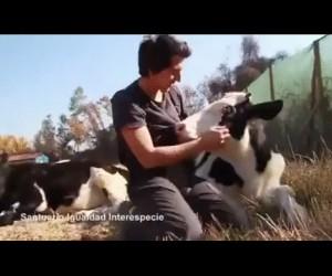 Krowy to najsłodsze zwierzęta